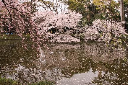 三島大社の桜-4