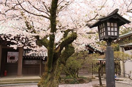 三島大社の桜-5