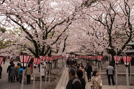 三島大社の桜-6