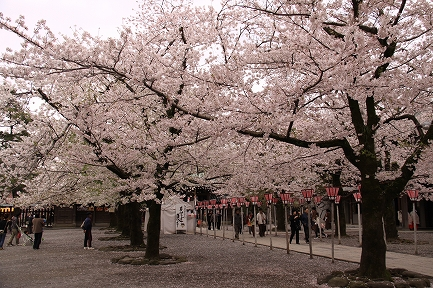 三島大社の桜-8