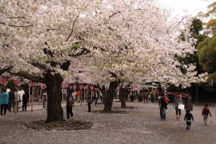三島大社の桜-9