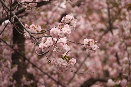 三島大社の桜-10