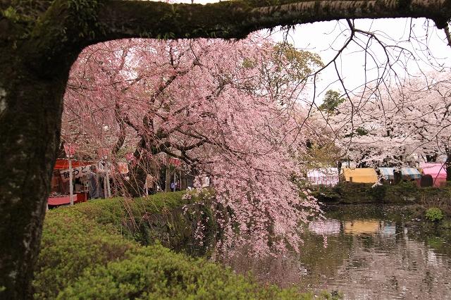 三島大社の桜-11