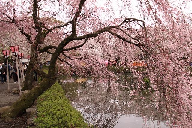 三島大社の桜-12