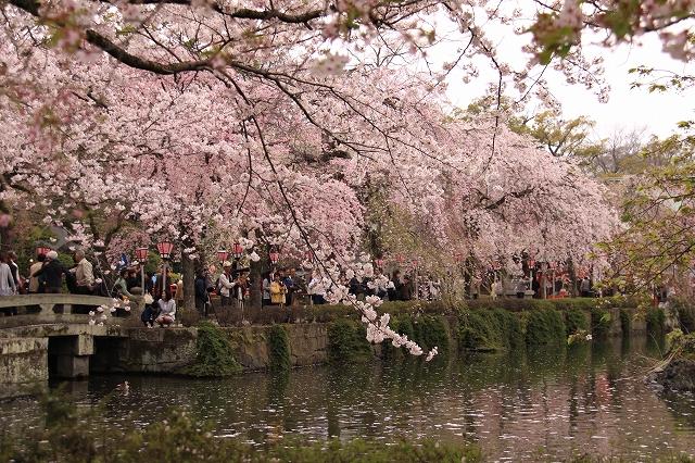 三島大社の桜-14