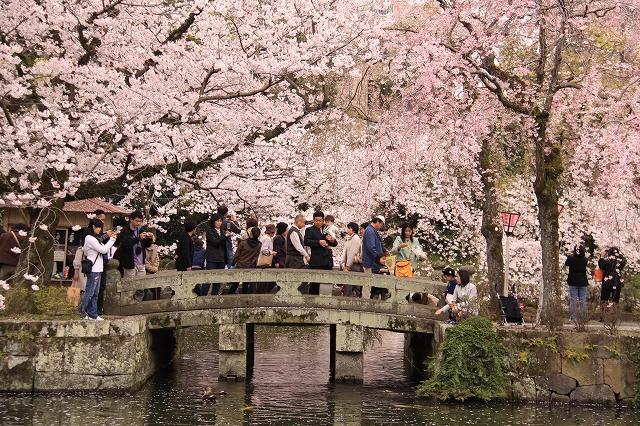 三島大社の桜-13