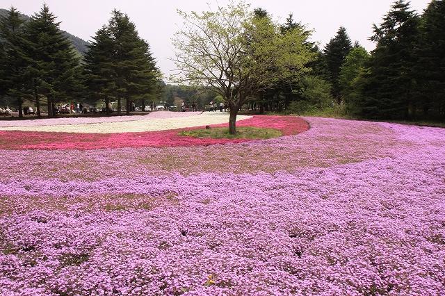 富士芝桜まつり-4