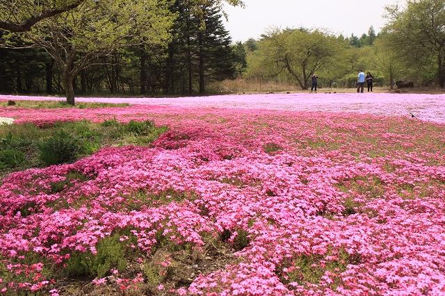 富士芝桜まつり-5