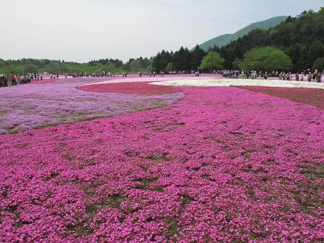富士芝桜まつり-6