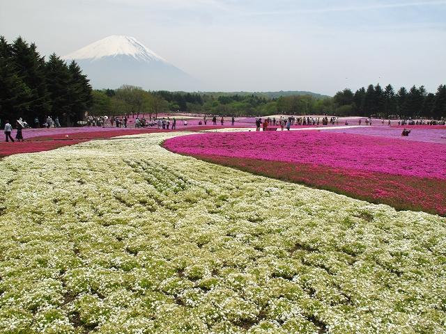 富士芝桜まつり-7