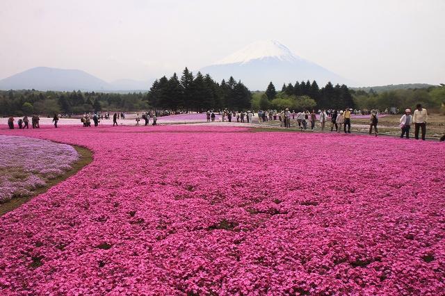 富士芝桜まつり-8
