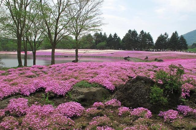 富士芝桜まつり-10