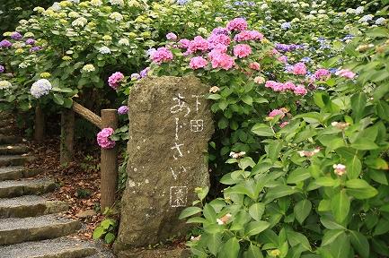 下田あじさい園-5