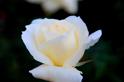 庭のバラ-2