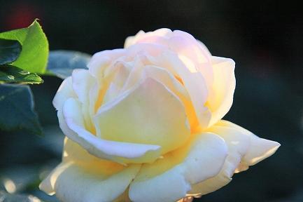 庭のバラ-4