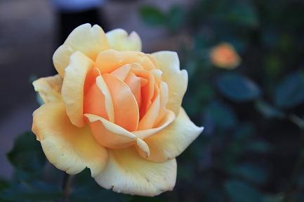 庭のバラ-5