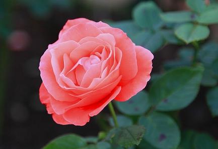 庭のバラ-6