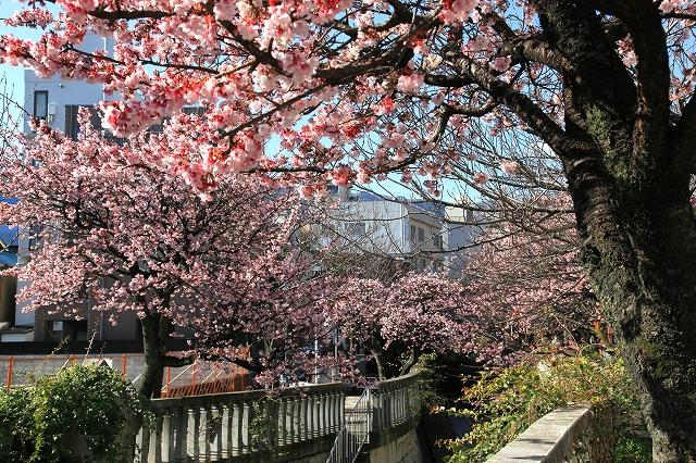 あたみ桜-2