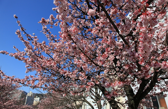 あたみ桜-3