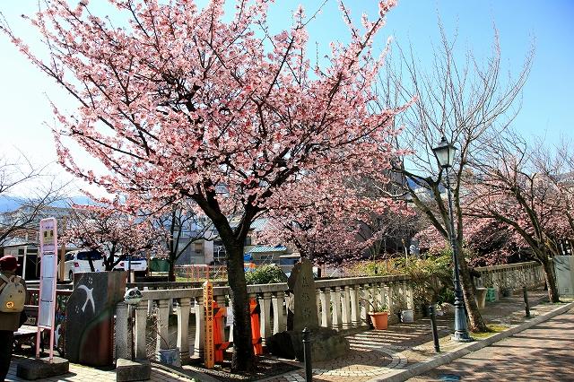 あたみ桜-4