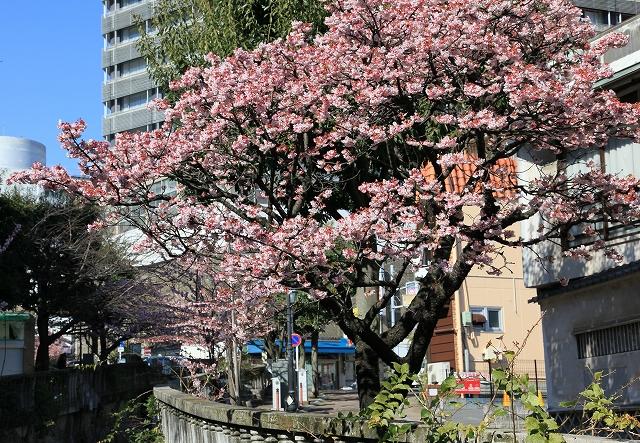 あたみ桜-5