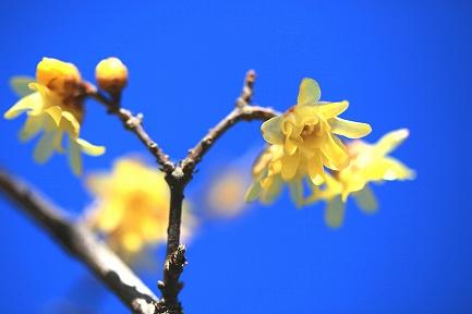 梅の花(蝋梅)-1