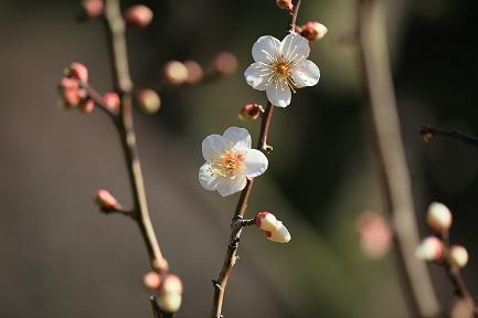 梅の花-2