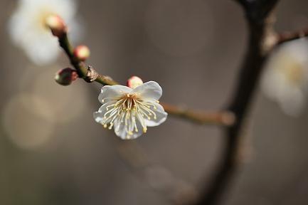 梅の花-3