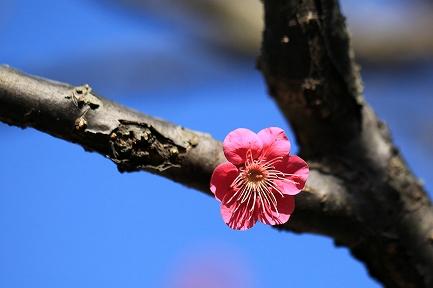 梅の花-4