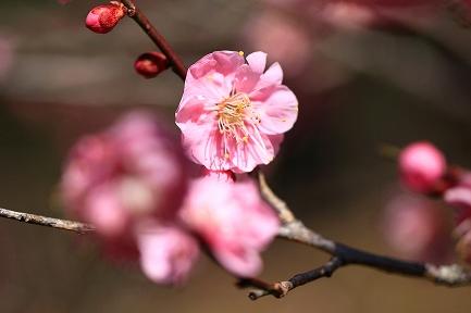 梅の花-5