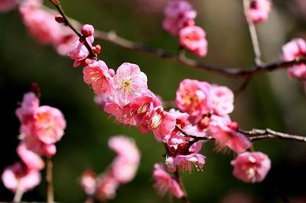 梅の花-7