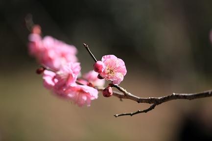 梅の花-8