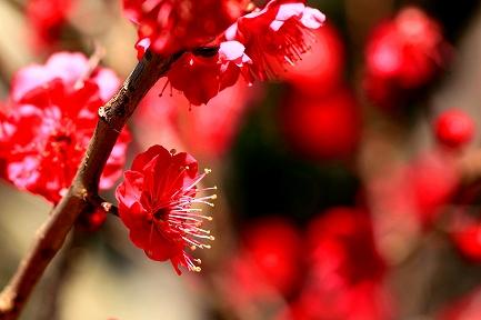 梅の花-9