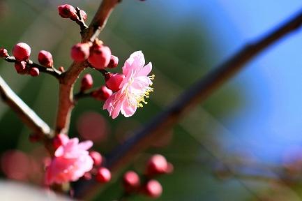 梅の花-10