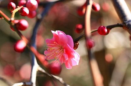 梅の花-11