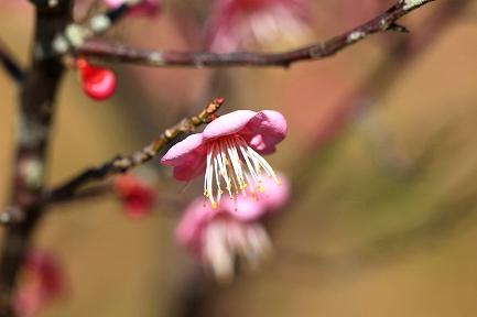 梅の花-12