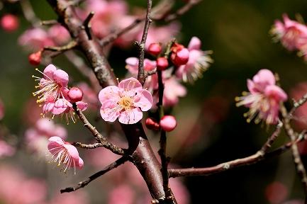 梅の花-13