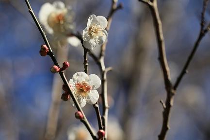 梅の花-14
