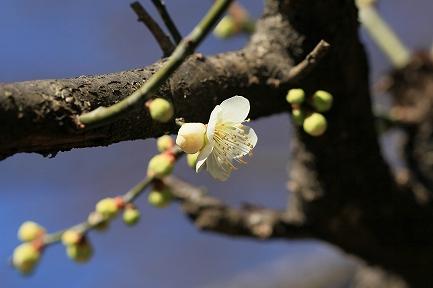 梅の花-15
