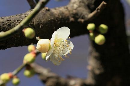 梅の花-16