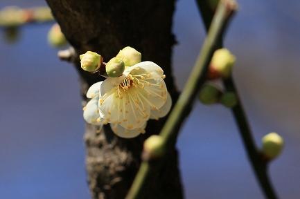 梅の花-17