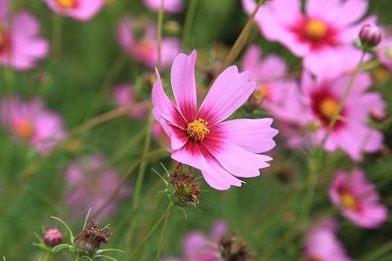 コスモスの花-8