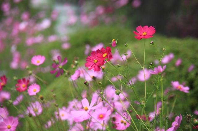 コスモスの花-2