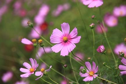 コスモスの花-4
