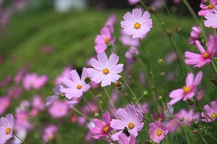 コスモスの花-5