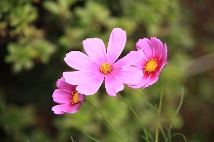 コスモスの花-6