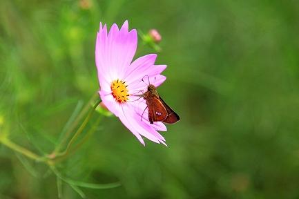 コスモスの花-7