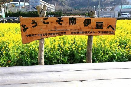 みなみの桜と菜の花まつり-1