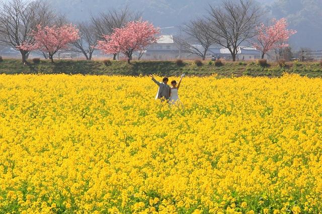 みなみの桜と菜の花まつり-9