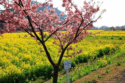 みなみの桜と菜の花まつり-7
